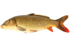 Carp. Big carp on a white background Stock Image