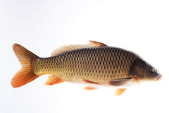 Carp. This is a live picture of carp Royalty Free Stock Images