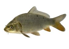 Carp Royalty Free Stock Photos