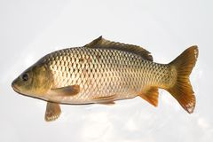 Carp Stock Photography