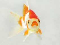 Carp. A surprising carp, in a transparent fish tank stock photo