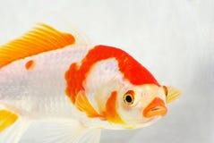 Carp. A surprising carp, in a transparent fish tank Royalty Free Stock Photos