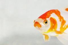 Carp. A surprising carp, in a transparent fish tank Stock Photos
