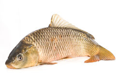 Carp. On a white background stock images