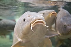 Carp Royalty Free Stock Images
