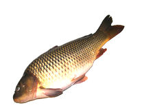 Carp Royalty Free Stock Photo