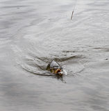 Carp being landed by angler. Stock Images