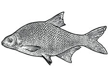 Carp bream fish illustration, drawing, engraving, line art, realistic. Carp fish, what made by ink, then it was digitalized Royalty Free Stock Photo