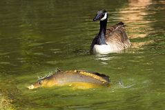 Carp and Canada goose Stock Photos