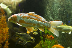 Carp coi Royalty Free Stock Images