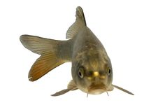 Free Carp Cross With Koi Fish Royalty Free Stock Image - 3898126