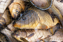 Carp and crucian Royalty Free Stock Photography