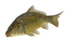 Carp (Cyprinus carpio) - isolated. Live fish photo in aquarium stock photography