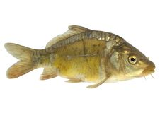 Carp (Cyprinus carpio) - isolated Stock Image