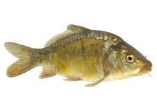 Carp (Cyprinus carpio) - isolated. Live fish photo in aquarium stock image