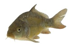 Carp (Cyprinus carpio) - isolated Stock Photo