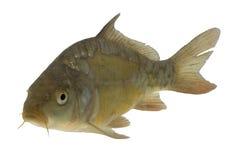Carp (Cyprinus carpio) - isolated. Live fish photo in aquarium stock photo
