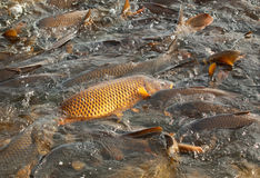 Carp, cyprinus carpio, in a lake Royalty Free Stock Photos
