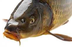 Carp in detail Royalty Free Stock Images