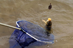 Carp. In the drop net Stock Photography