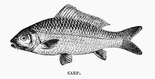 Carp. An engraved vintage fish illustration image of a carp, from a Victorian book dated 1883 that is no longer in copyright Royalty Free Stock Photography