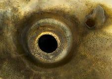 Carp eye close-up - isolated. Live fish photo in aquarium royalty free stock photos