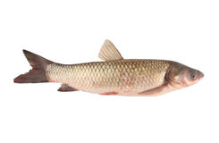 Carp family fish isolated Royalty Free Stock Photo