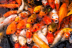 Carp Fish Feeding. Carp in a feeding frenzy at the surface of a pond Royalty Free Stock Photo