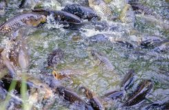 Carp feeding frenzy. Carp, a large asian fish, have a feeding frenzy as kids toss in food at a local zoo stock image