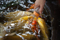 Carp feeding with milk bottle Royalty Free Stock Photos