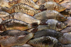 Carp fish Royalty Free Stock Photography
