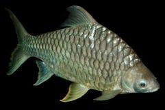 Carp fish. Freshwater fish carp isolated on black Stock Images