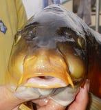 Carp fish. My husband has caught this carp Royalty Free Stock Image