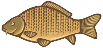 Carp fish. Common carp, carp fish species Stock Image