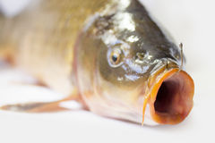 Carp fish Royalty Free Stock Images