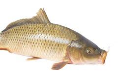 Carp fish Stock Photos