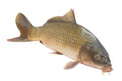 Carp fish. Isolated on white background Royalty Free Stock Image