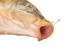 Carp fish Stock Image