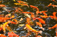 Carp Fish in blurred water. Colorful carp fish in the clear water Royalty Free Stock Photos