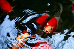 Carp Fish is breathing in the pond. There are several carp fish in the pond but some of them are breathing. take a look, it likes they talk to each other Royalty Free Stock Photography
