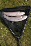 Carp fish caught in a river Stock Photos
