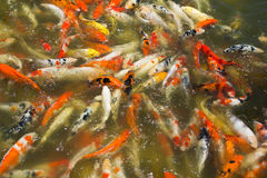Carp fish Stock Photography