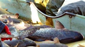 Carp Fish Classification-Commercial Fishing