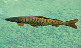 Carp fish in clear water. Carp fish swimming in clear lake Stock Photography