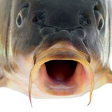 Carp fish close up Royalty Free Stock Photo