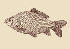 Carp fish  drawing vector illustration Stock Images