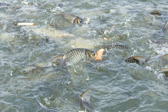 Carp fish eating bread Stock Photography