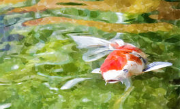 Carp fish Royalty Free Stock Photos