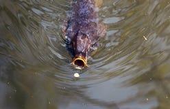 Carp fish gulping a flower petal. Stock Photos
