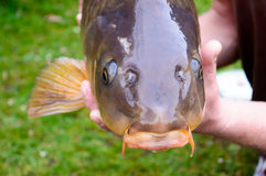 Carp fish head closeup. In the hands of the person who cautgh it Royalty Free Stock Photo